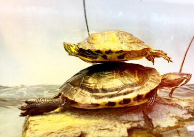 Aquatic Turtles (Yellow Belly/Red Eared Sliders)