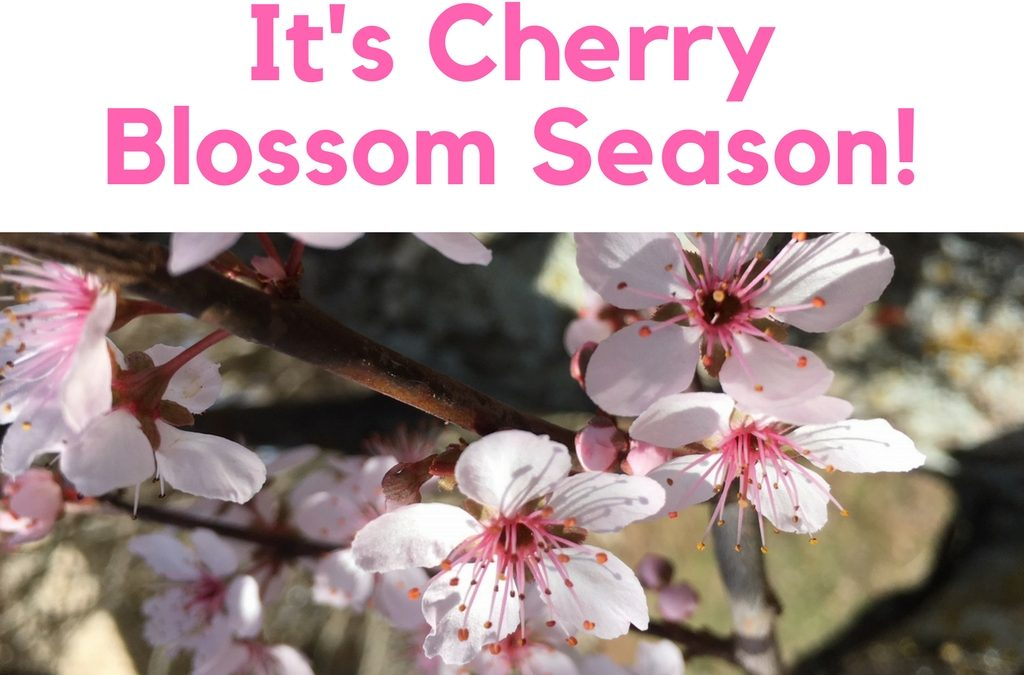It's Cherry Blossom Season!