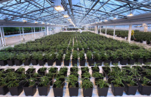 Aphria_Inc_Greenhouse