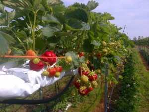 Juicy seasonal fruit strawberries ripening on our 'table-top'  growing system.