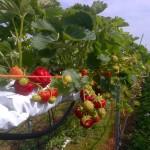 Table top strawberries