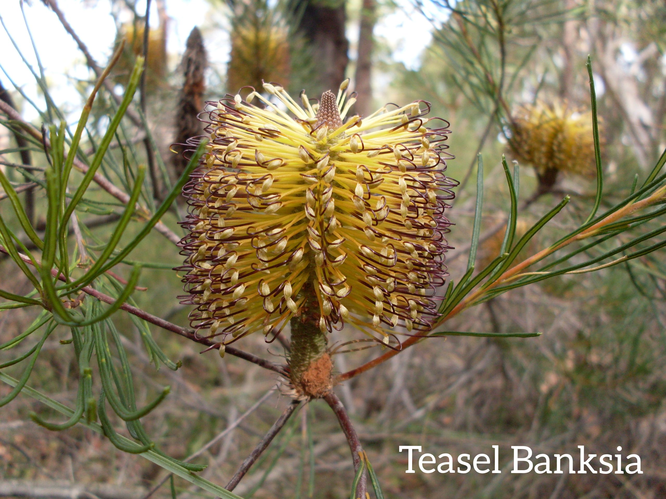Teasel Banksia