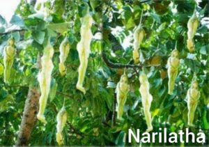 Narilitha Flower