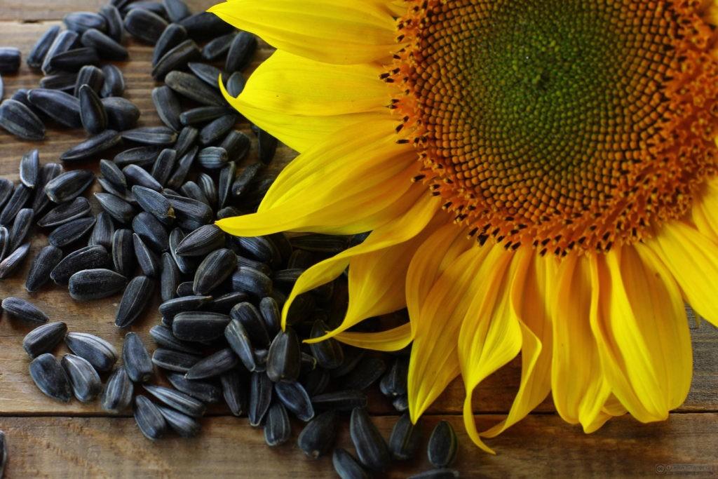 Chiroinji sunflower seeds Face Mask