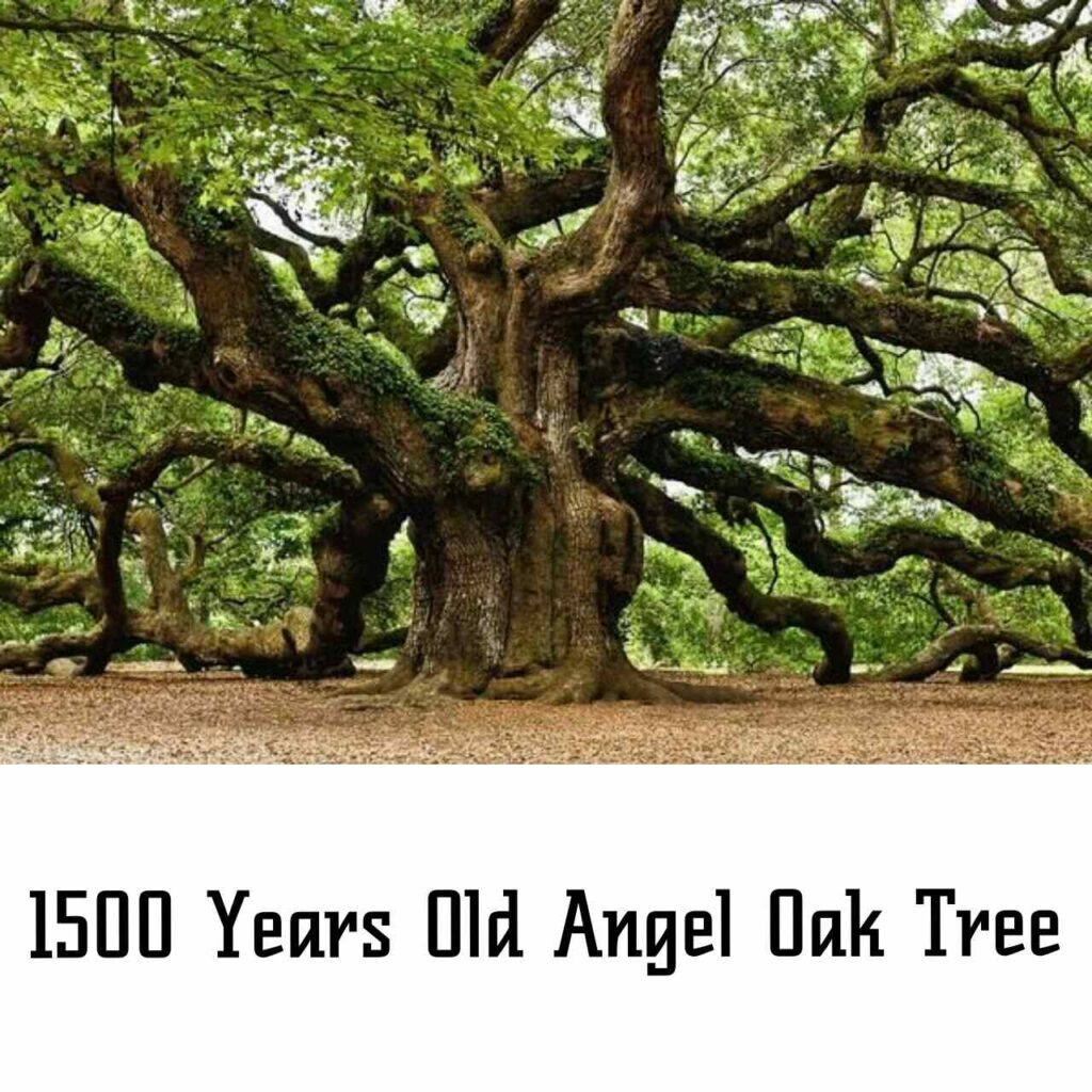 1500 years old oak tree