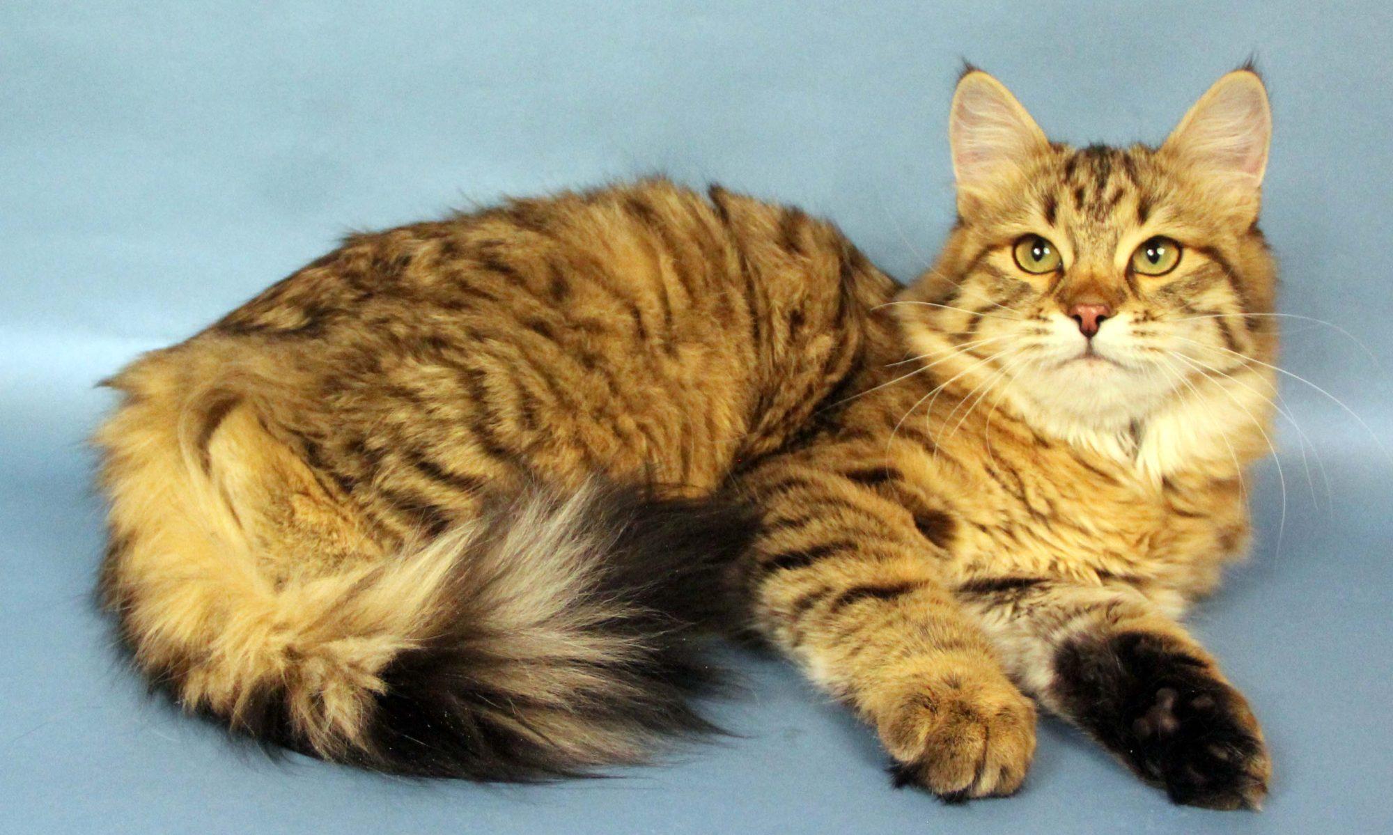 Rusik Siberian Cats