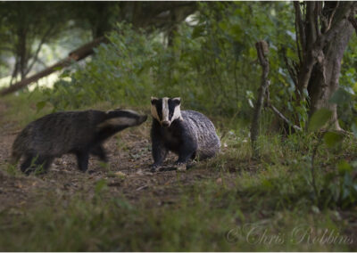 Badgers. It took two weeks of  preparation and a long wait to get this Image.