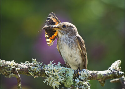 Spotted flycatcher with tortoiseshell butterfly. Highly commended International Garden Photographer of the Year