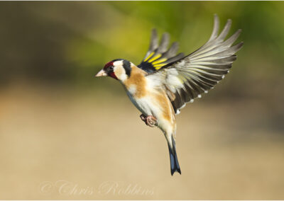 Goldfinch ( Carduelis carduelis ) in flight, Devon, UK