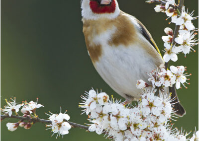 Goldfinch sitting on blackthorn.