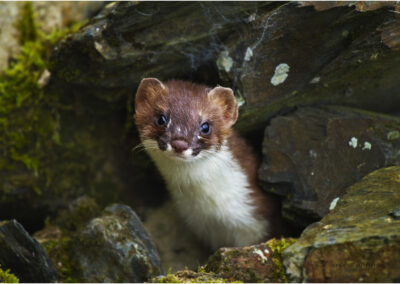 Stoat, taken in the wild: I had to squeak like a mouse to lure this shy animal out from this pile of rocks.