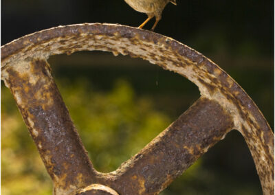 Wren on old wheel