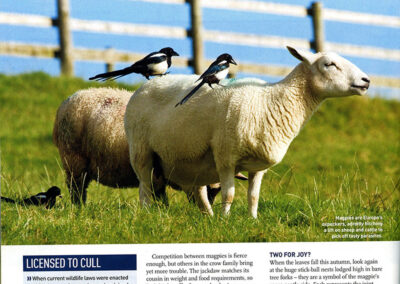 Magpies on sheep: BBC Wildlife Magazine.