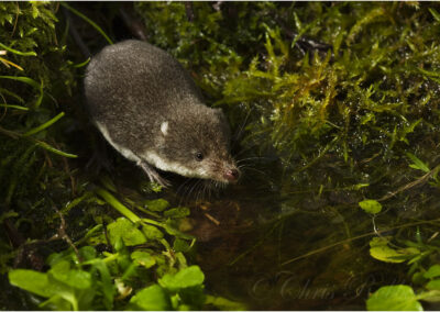 Water shrew (neomys fodiens)