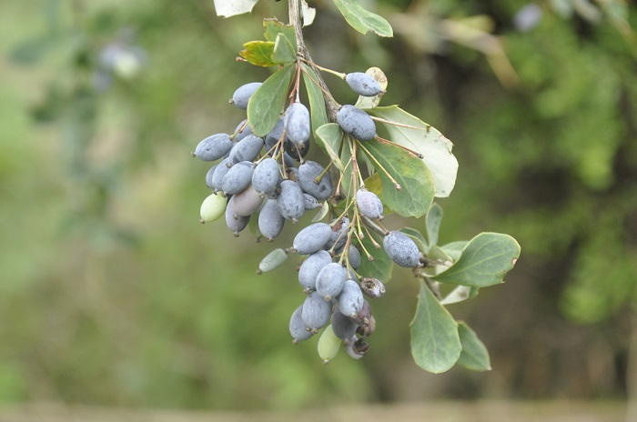 Berberis aristata DC.- Kashmale (कशमले)
