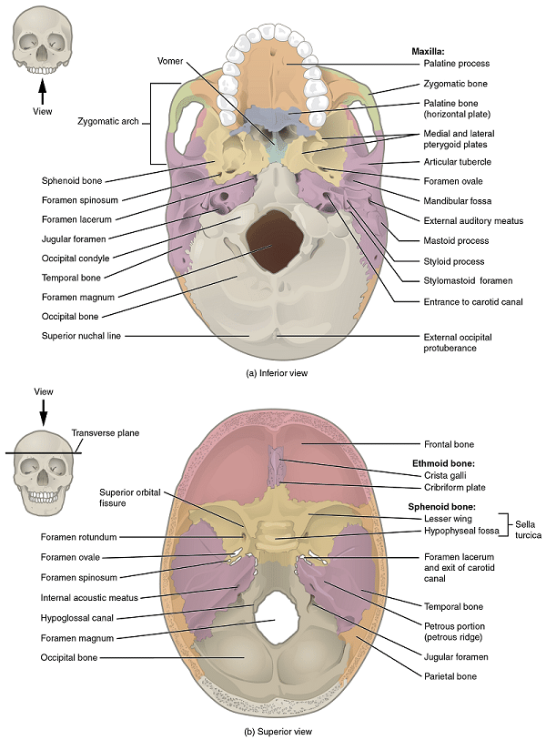 Inferior and superior view of the skull