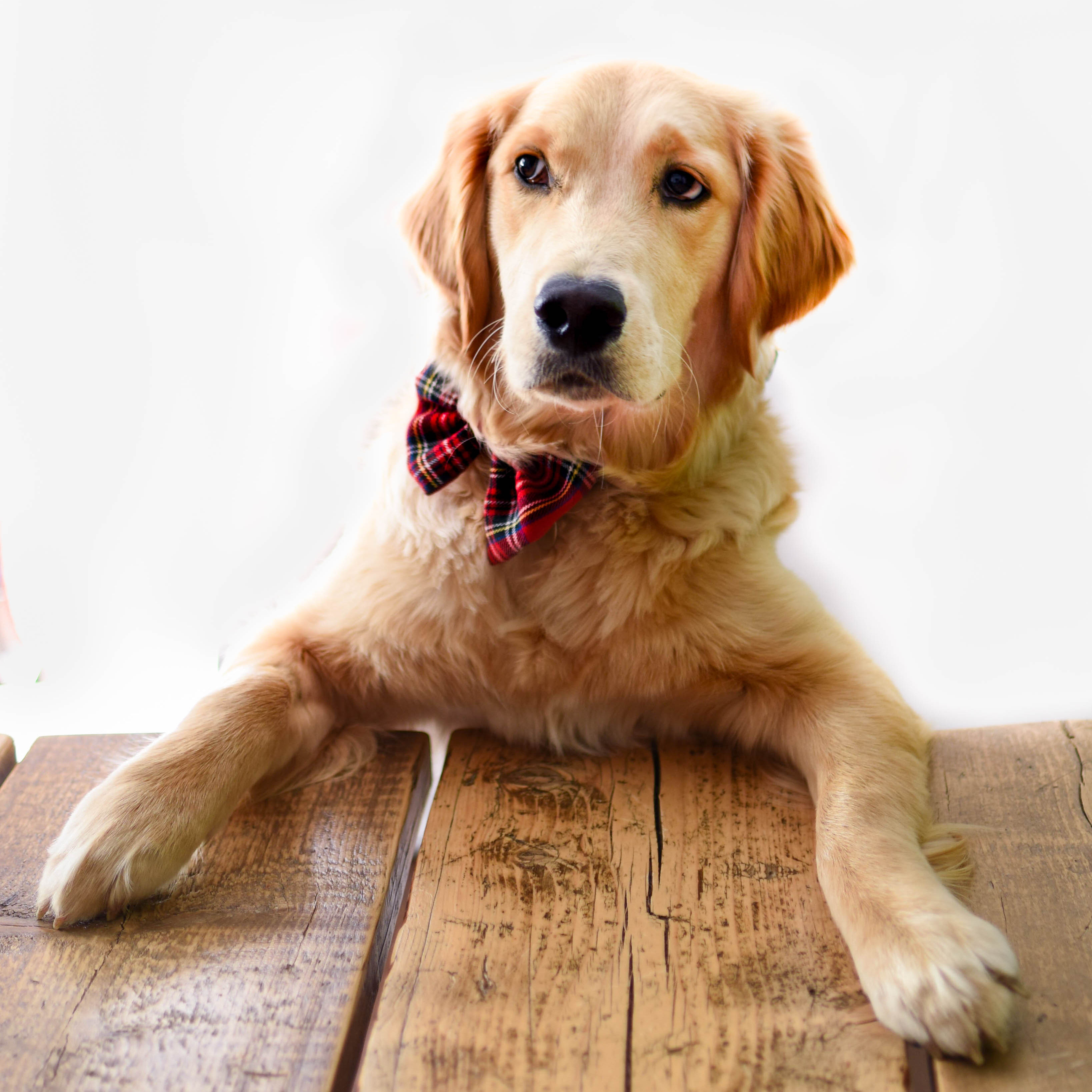 Isla, a golden retriever dog, wearing a red tartan bow-tie with her paws on a wooden desk