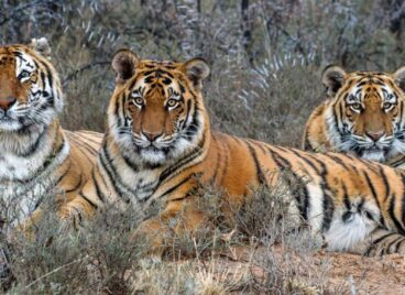 Three tigers lying in the grass, looking into the camera, at Tiger Canyon Private Game Reserve