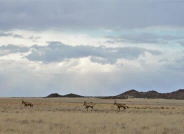 Red Hartebees gallop across the grassy plains at Tiger Canyon Private Game Reserve