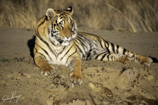 Tiger lying in the sand at Tiger Canyon Private Game Reserve
