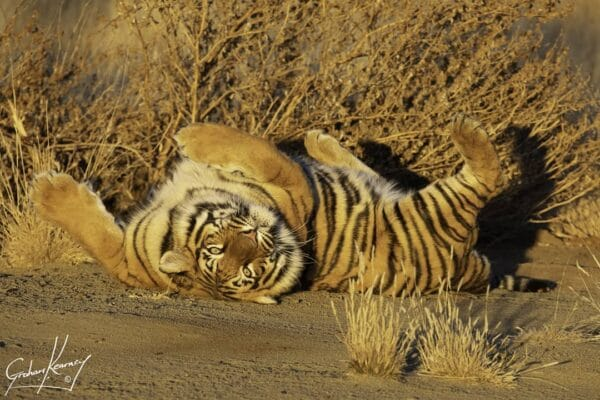 Tiger rolling in the sand at Tiger Canyon Private Game Reserve