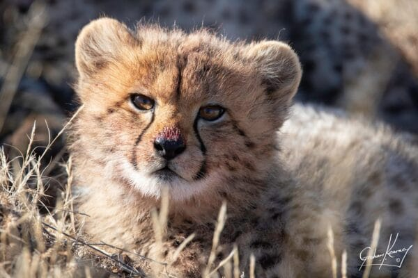 Close up of cheetah cub at Tiger Canyon Private Game Reserve