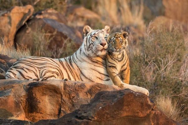 White Tiger and Orange Cub snuggling at Tiger Canyon Private Game Reserve