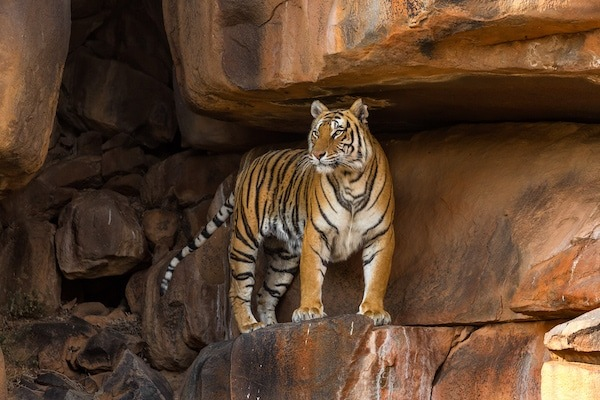 Tiger standing on rocks at Tiger Canyon Private Game Reserve