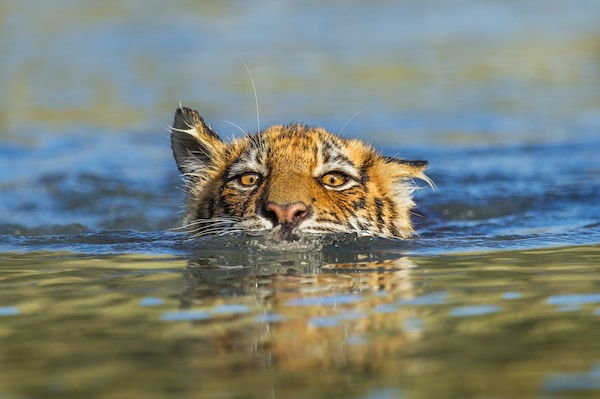 Tiger swimming at Tiger Canyon Private Game Reserve