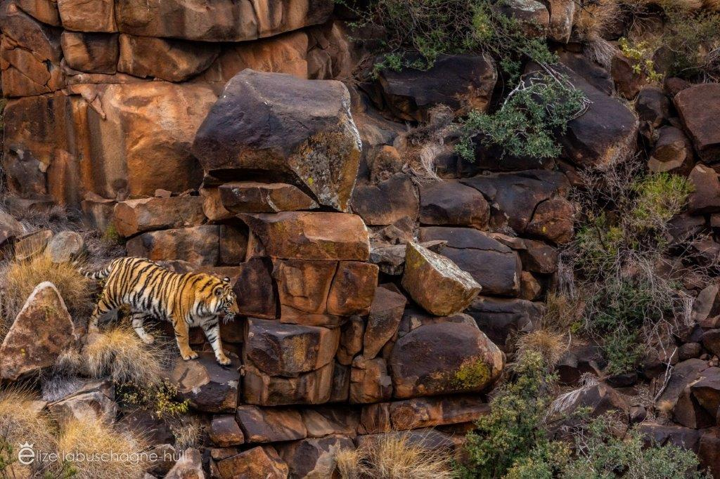 Tiger crouching on the rocks at Tiger Canyon Private Game Reserve