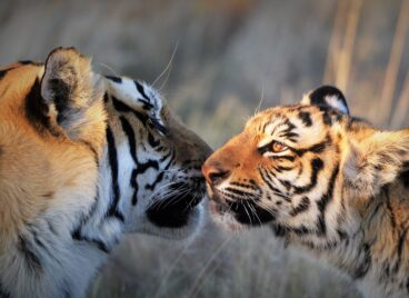 Tigers touching their noses together at Tiger Canyon Private Game Reserve