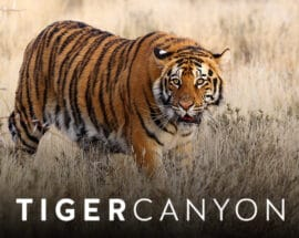 Tiger stalking through the grass at Tiger Canyon Private Game Reserve