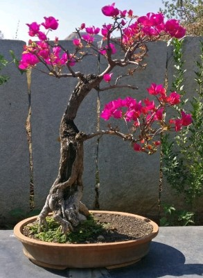 bougainvillea_crop_492x670-293x400