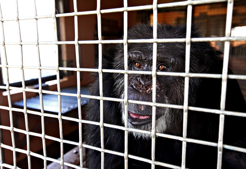 Cheetah, un chimpancé rescatado de un laboratorio biomédico en el santuario Fort Pierce de Save the Chimps- EFE