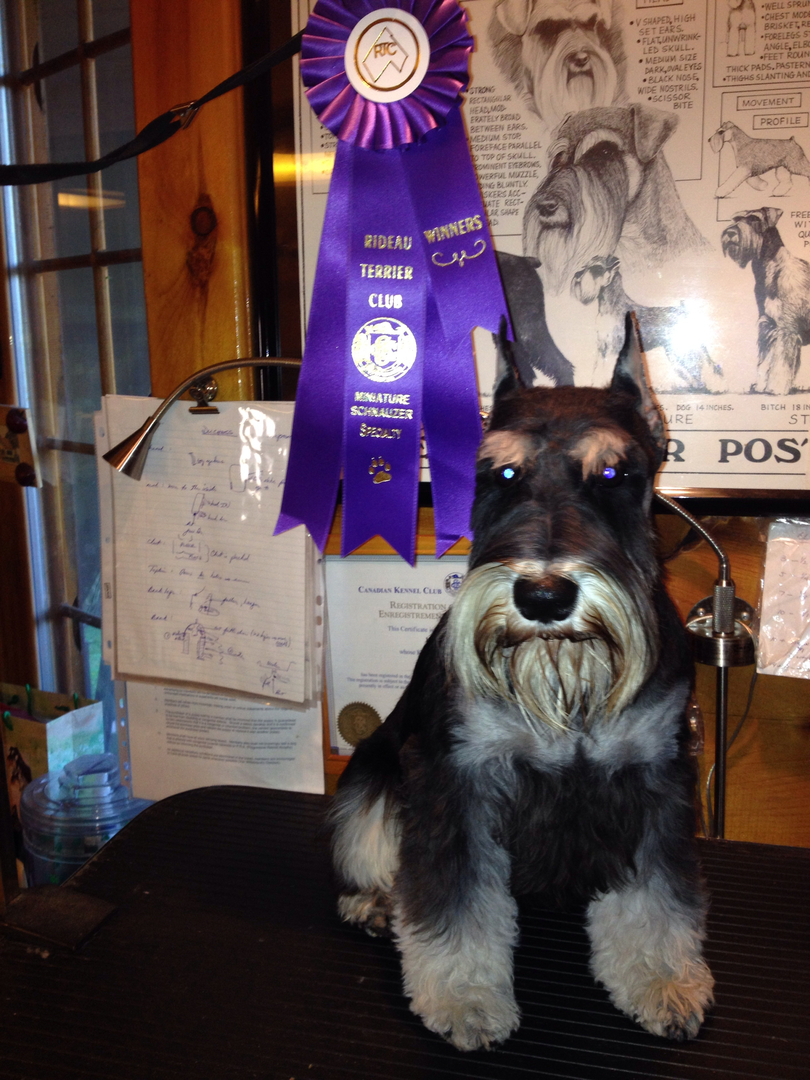 Griff after his big win at the Miniature Schnauzer speciality show.