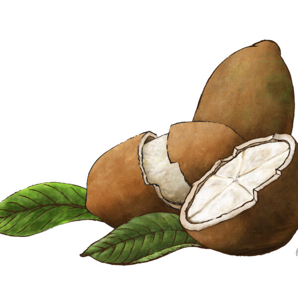 Capaucu Fruit Illustration