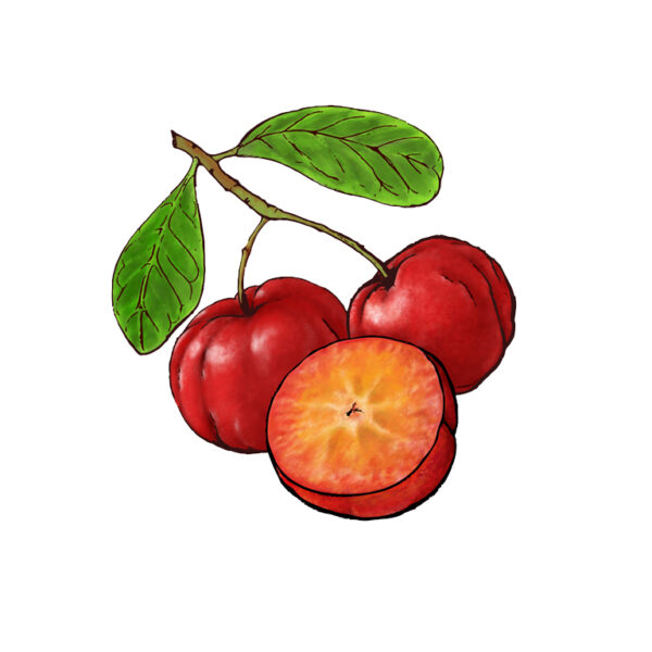 Acerola Fruit Illustration