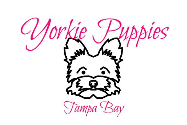 Yorkie Puppies Tampa Bay - Heather Crest Kennels