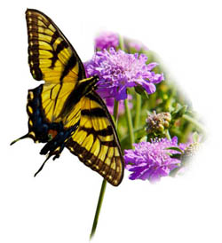butterfly-footer