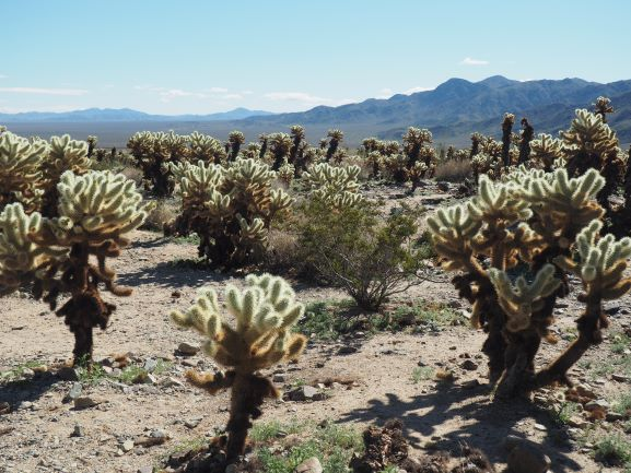 Joshua-Tree-National-Park-Cholla-Garden
