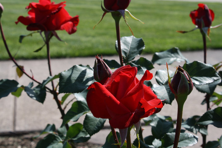 Party With Us At The 1st Annual New Britain Rose Garden Festival