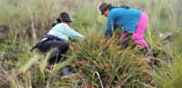 Workers harvest blueberries in the highlands