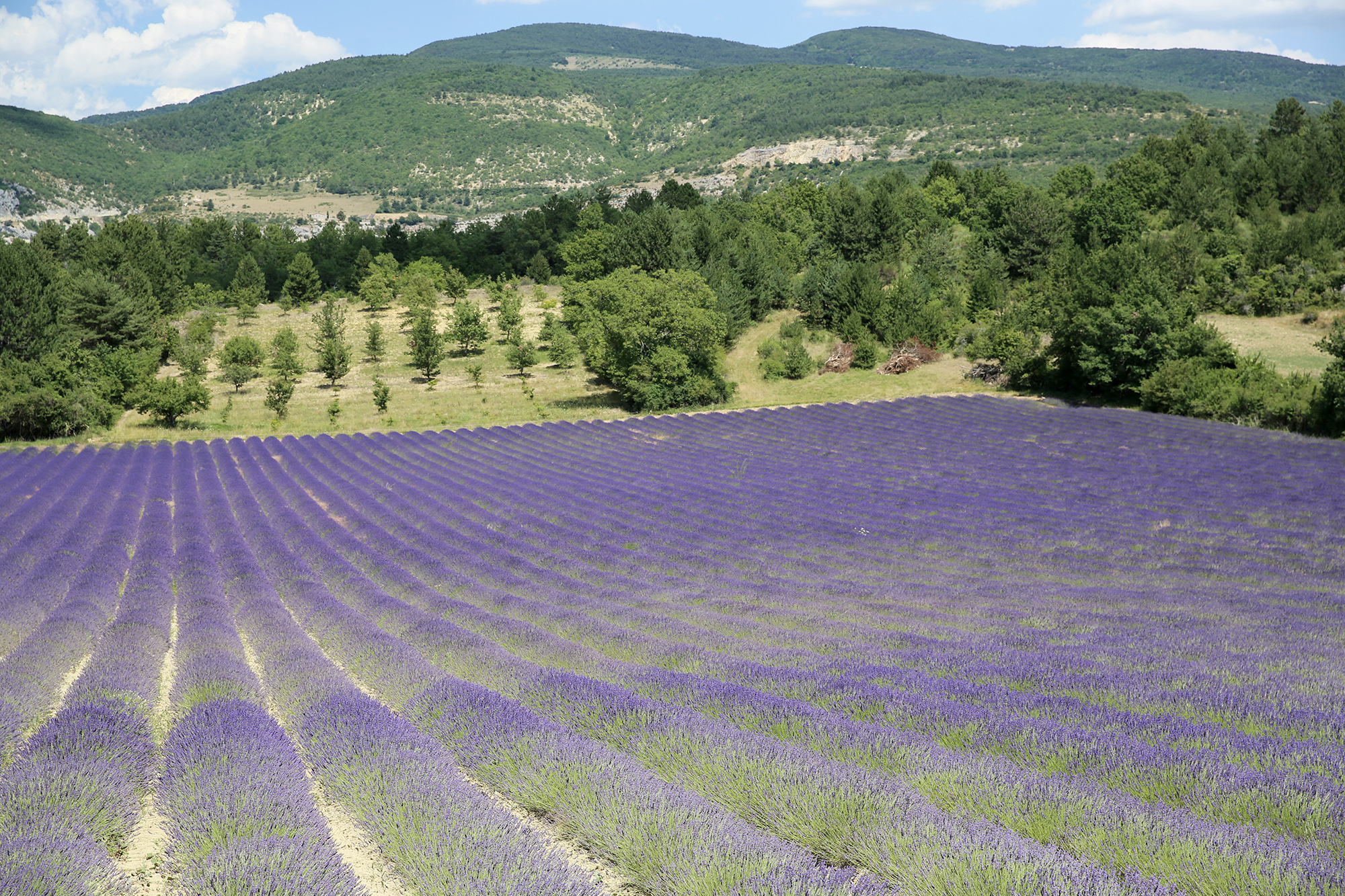 Sault, France lavender field