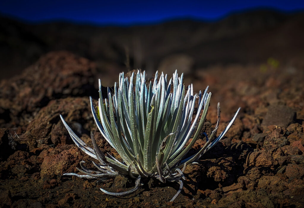 Silversword plant at Haleakala