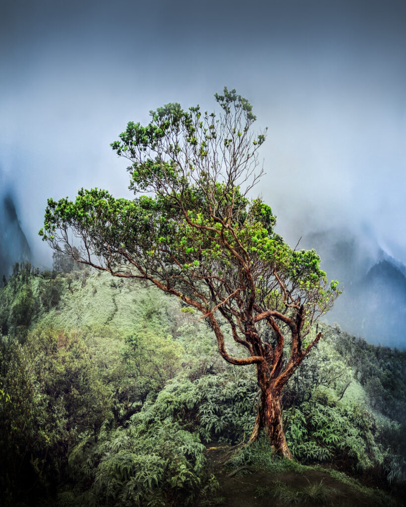 Gnarled tree surrounded by fog at end of Iao Tableland Trail in Iao Valley State Park.