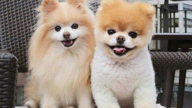 3 Jenis Anjing Paling Lucu