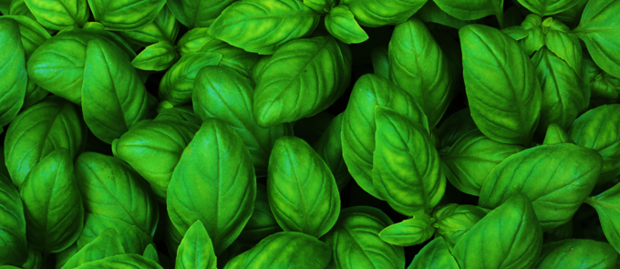 Apocalyptic Garden Must-Have: Basil