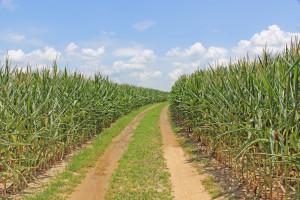 Road through cornfield