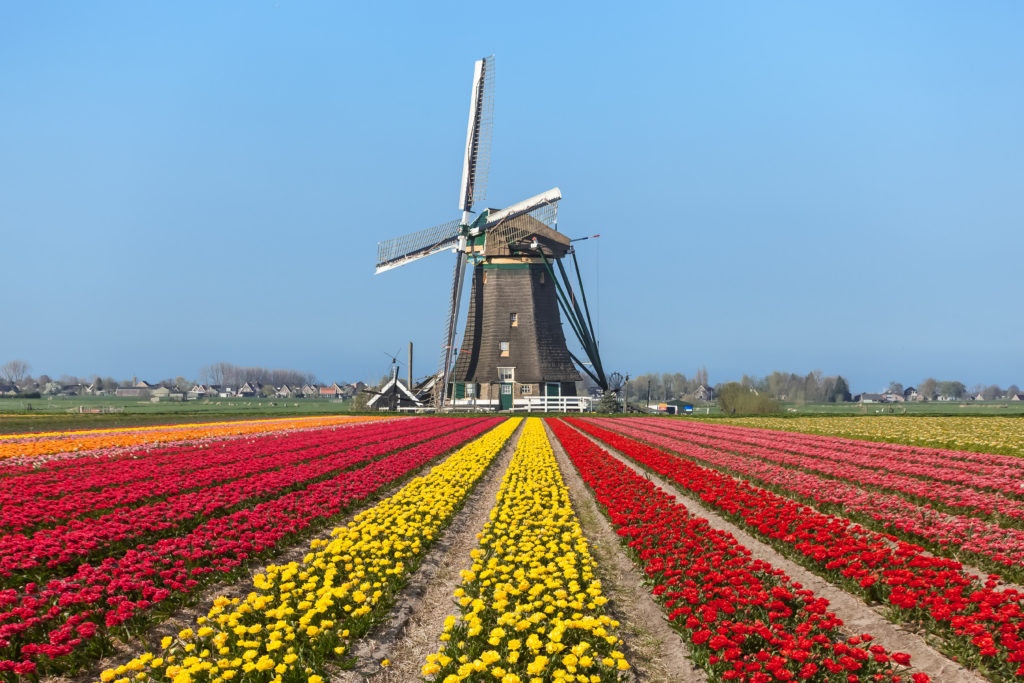 tulips-windmill-holland