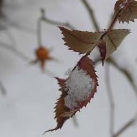 winter rosehip